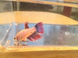 Schnee showing off her colors (crowntail,female) by KaulitzWolf