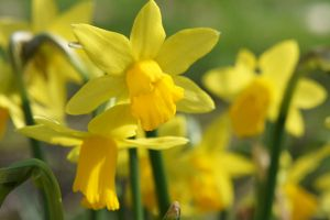 daffodils or Narcissen by longlivelol