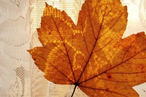 Maple leaf by rosaarvensis