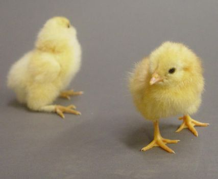 Fluffy chick stock 2 by InKi-Stock