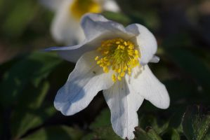 Wood anemone by perost