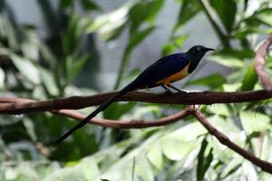 Golden Breasted Starling 2 by MegMarcinkus
