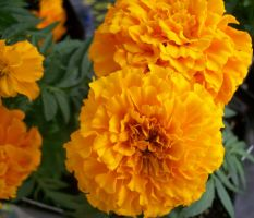 French Marigold by lovefistfury