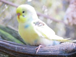 young budgie by kiwipics