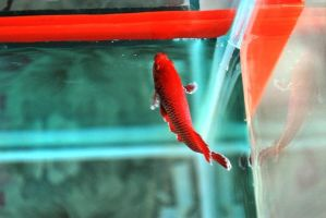 Betta Fish for export 09 by jerungan