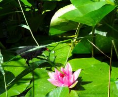 Waterlilies, Moorhen Chick and Pink Lotus by Cloudwhisperer67