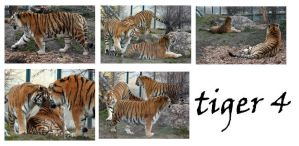 tiger 4 pack by syccas-stock