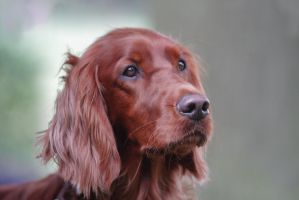 Irish Setter Portrait by LuDa-Stock