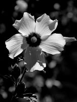 As3 1106-1bw by Placi1