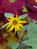 Small sunflower with colors by Mogrianne