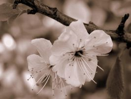 Spring Blossoms by Annesaar