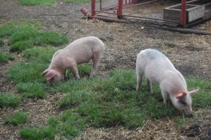 Stock 399 - Pigs by pink-stock