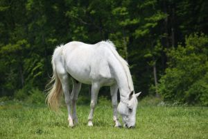 Horse Collection: White 10 by Germanstock