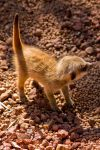 Photography: Meerkat Pup by Risachantag