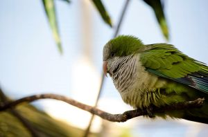 Quaker Parakeet by Choccylover