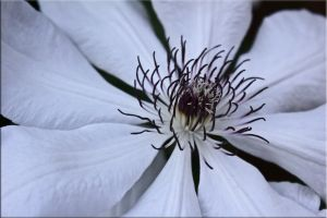 Clematis by iCoffeeholic