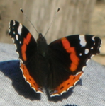 Red Admiral by flippytiger