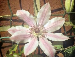 Clematis by DanBoldy