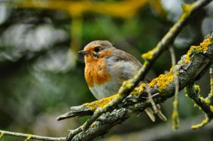 Robin on a Branch by Somebody-Somewhere