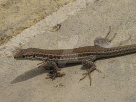 Maltese Wall Lizard Shedding by Maltese-Naturalist