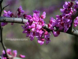 Redbud Blooming by JamDebris