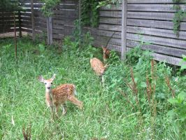 Fawns in the Meadow 5b by Windthin