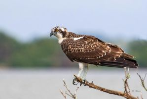Juvenile Osprey by Grouper