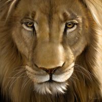 Lion close-up by ScottDeardorff