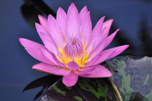Water lily 5 by NB-Photo