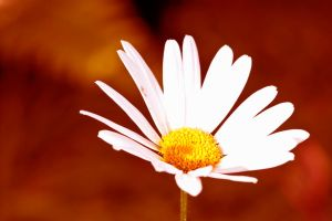 Daisy fever by pqphotography