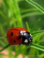 The Ladybug 5 by KSMPhotography