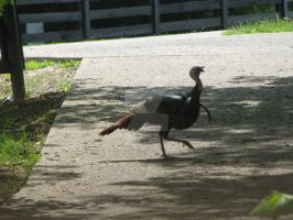 Wild Turkey by Ericthepilot