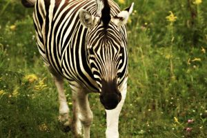 Zebra by Spikey1975