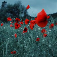 Poppies by Bomb-Creator