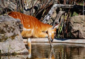 I'm the most beautiful Sitatunga in the world by Allerlei