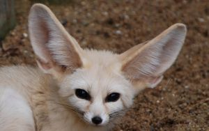 Giant Fennec Face. by Rabid-Coot