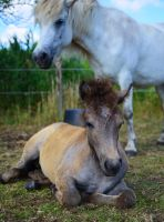 iceland filly by sys66
