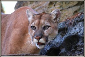 Cougar Photo Shoot 9 by SilkenWinds