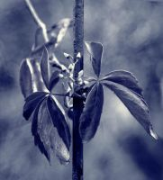 blue shine by niels-Isi