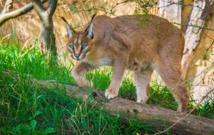 PZ Caracal Portrait by OrangeRoom