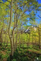 The Line of Aspens by mjohanson