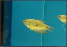 Fish Stock 0065 by phantompanther-stock