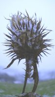 Thistle by Nicollaos
