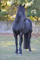 Tempest Friesian Horse Stock11 by blue-eyed-book-lover