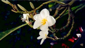 Close Up of a White Flower by lashana