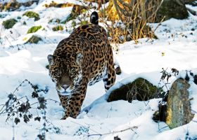 Snow Jag 2 by SnowPoring