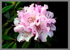 Rhododendron by TankGirl86