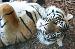 Gage Park Zoo 68 - Tiger by Falln-Stock