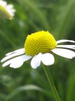 Camomile by abc350