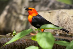 Red-Headed Blackbird by secondclaw